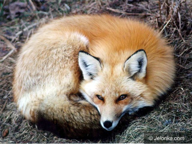 JELENIA GÓRA: Polowanie na lisa