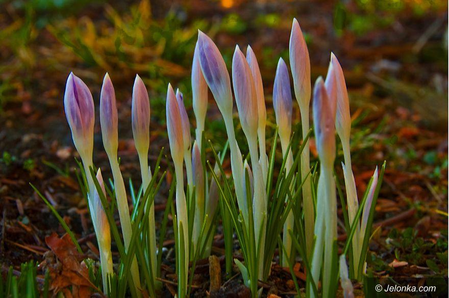 JELENIA GÓRA: Arktyczne powitanie wiosny