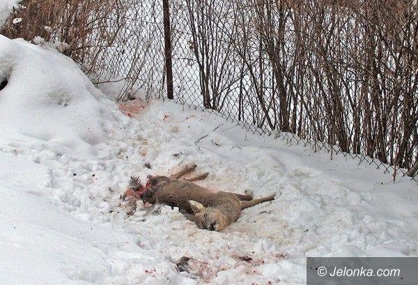 JELENIA GÓRA: Dzikie zwierzęta miejskim problemem