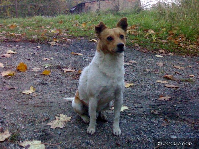 Jelenia Góra: Ten pies potrzebuje domu, właściciel wyrzucił go z auta i odjechał
