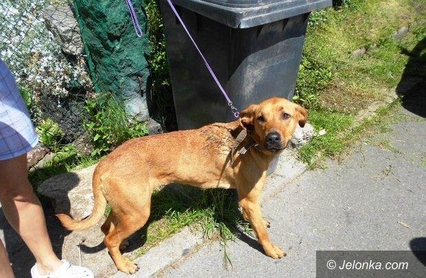 Jelenia Góra: Wychudzony pies przy ulicy Poznańskiej