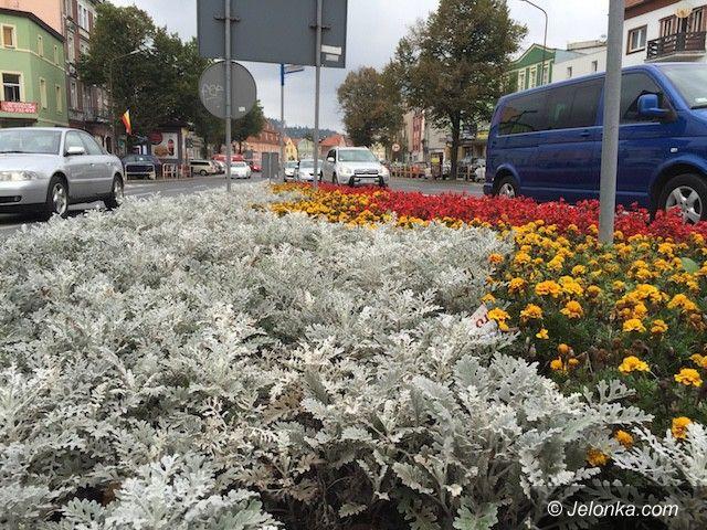 Jelenia Góra: Miasto zakwitnie wiosną tysiącami krokusów