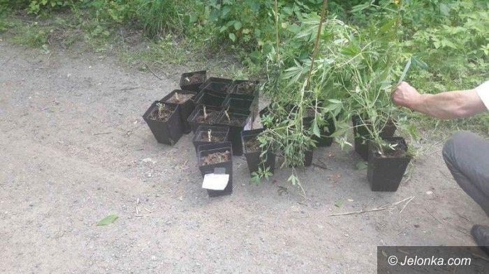 Region: Policjanci zlikwidowali uprawę konopi indyjskich