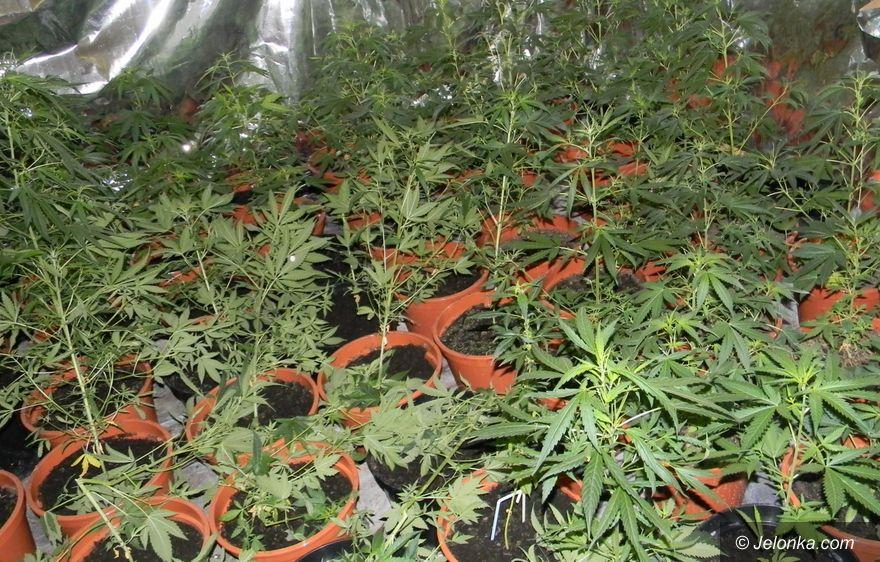 Jelenia Góra: Medyczna marihuana jest już w aptekach?