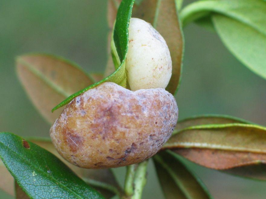 Region: Unikatowy grzyb na unikatowej roślinie
