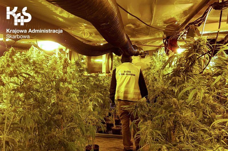 Region: Producenci marihuany zostali