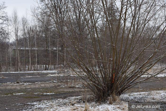 Jelenia Góra: Co z drzewami nad Młynówką?
