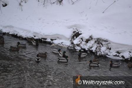 Wałbrzych: Dzikie wysypisko i dzikie kaczki