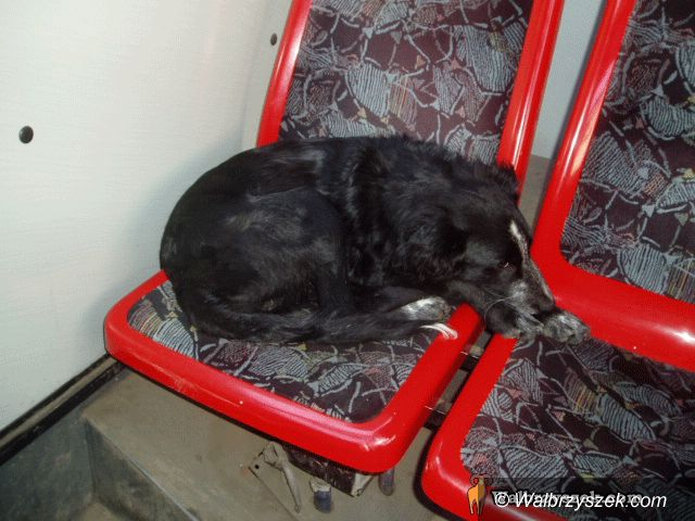 Wałbrzych: Pies, który jeździ komunikacją miejską