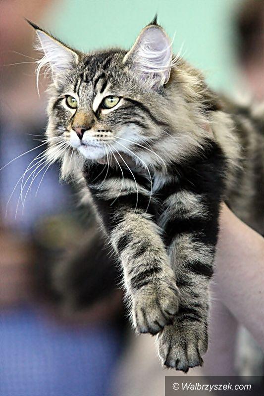 Wałbrzych: Międzynarodowa Wystawa Kotów Rasowych za nami