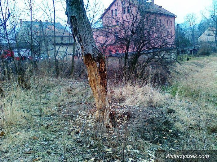 Wałbrzych: Wycinał 20–metrowe drzewo