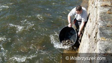 REGION: Wędkarze wypuszczą do wałbrzyskich rzek prawie 800 tys. młodych pstrągów
