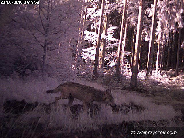 REGION: Dzikie zwierzęta wracają do naszych lasów