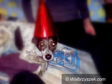 Wałbrzych/REGION: Pieski Sylwester – rady dla właścicieli czworonogów