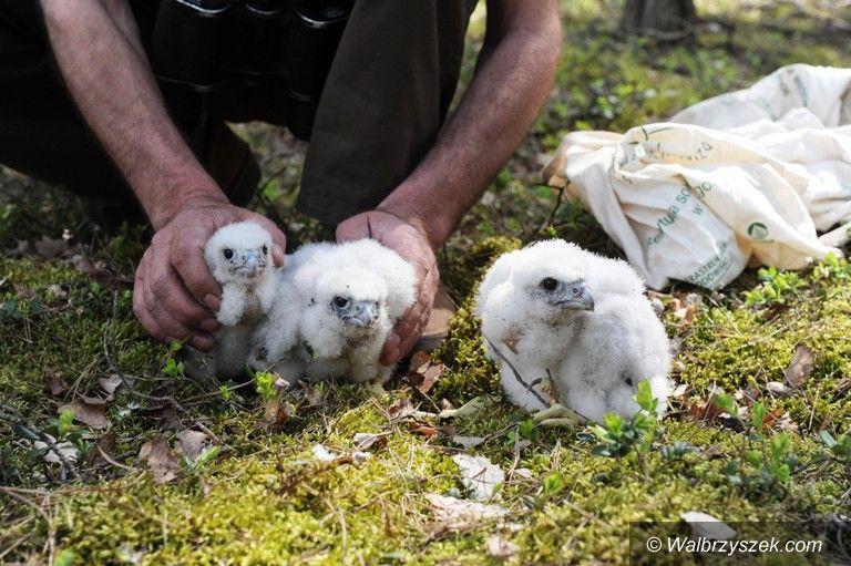 Wałbrzych: Na kominie wałbrzyskiej ciepłowni powstanie gniazdo dla sokołów wędrownych