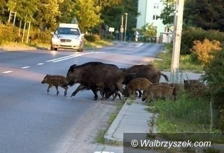 Wałbrzych: Dziki na Piaskowej Górze