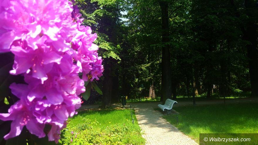 Wałbrzych: W Zamku Książ zakwitły rododendrony