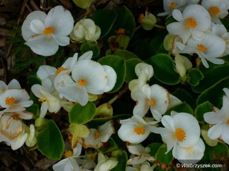 Wałbrzych: Kwiaty naszego ogrodu – podsumowanie roku
