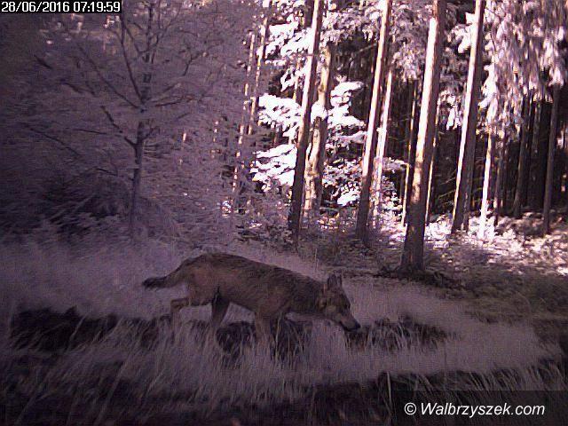 REGION, Łączna: Nocny atak wilków?
