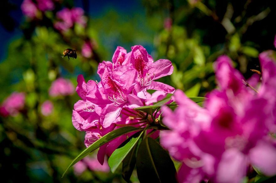 Wałbrzych: Rododendrony zakwitły