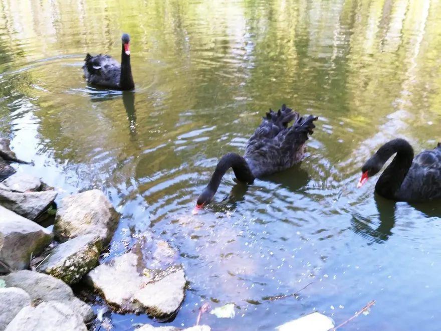 REGION, Szczawno-Zdrój: Lis zagryzł łabędzia