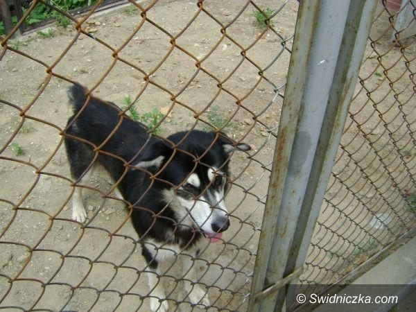 Świebodzice: Przygarnij psa z północnymi genami