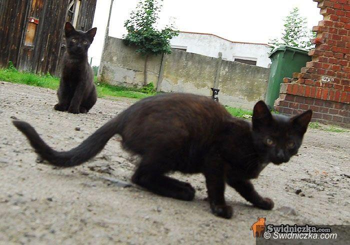 Świdnica: Kto się boi piątku trzynastego? A stada czarnych kotów?
