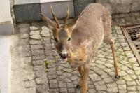 Świdnica: Sarny zaglądają na miejskie podwórka