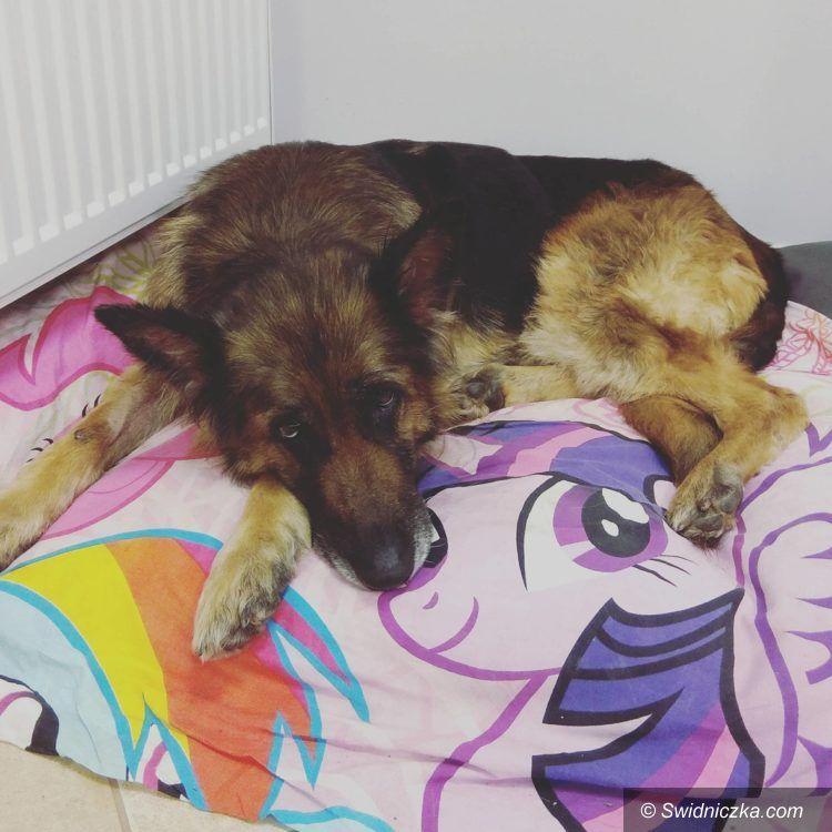Świdnica: Dora – suczka w typie owczarka niemieckiego do adopcji!