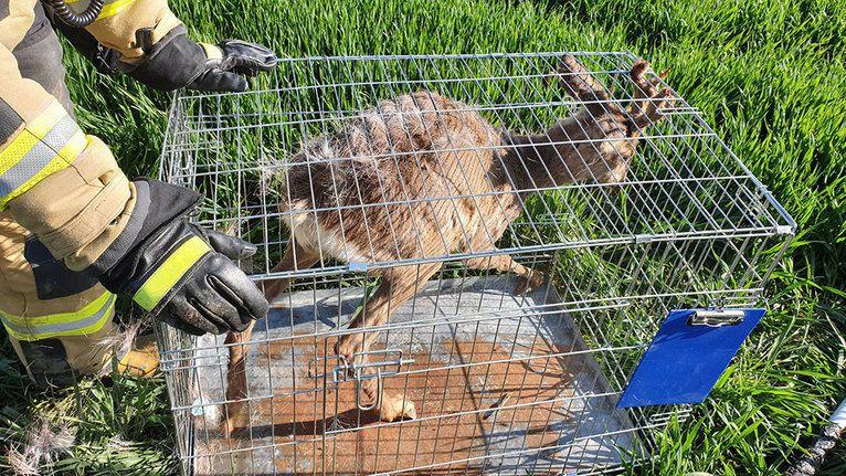 Żarów: Strażacy z OSP Żarów uratowali kozła uwięzionego w studni