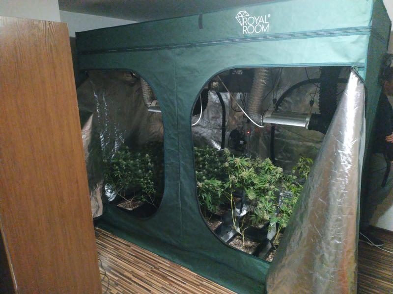Świebodzice: Plantacja w mieszkaniu